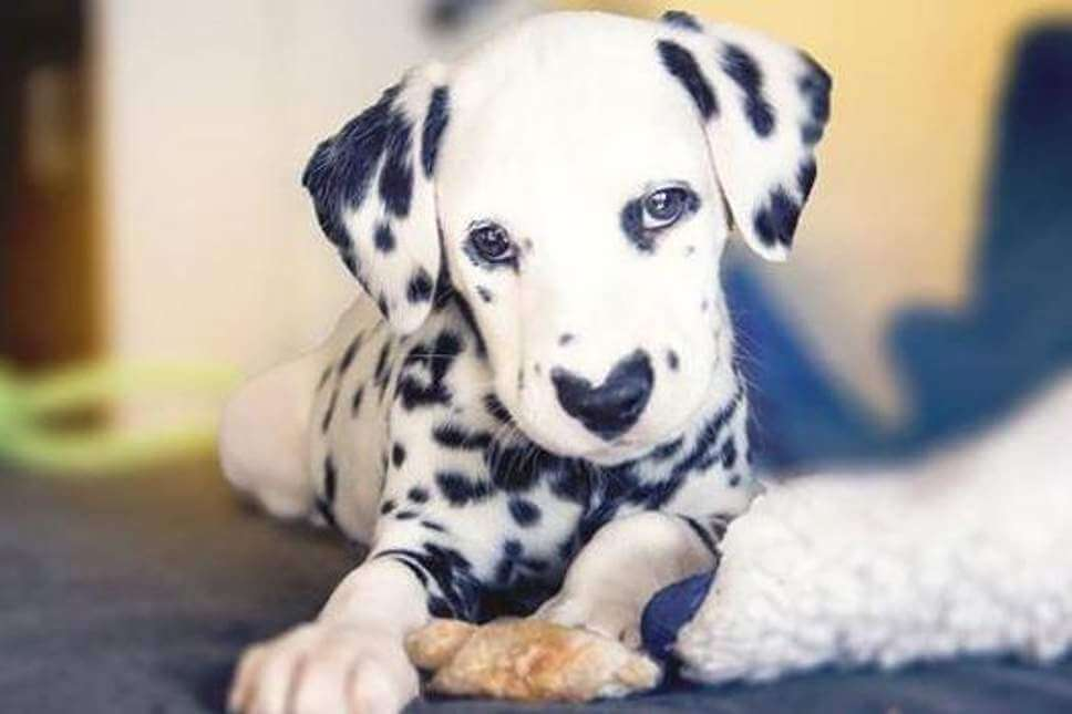 Dalmatian dog coming from Croatia