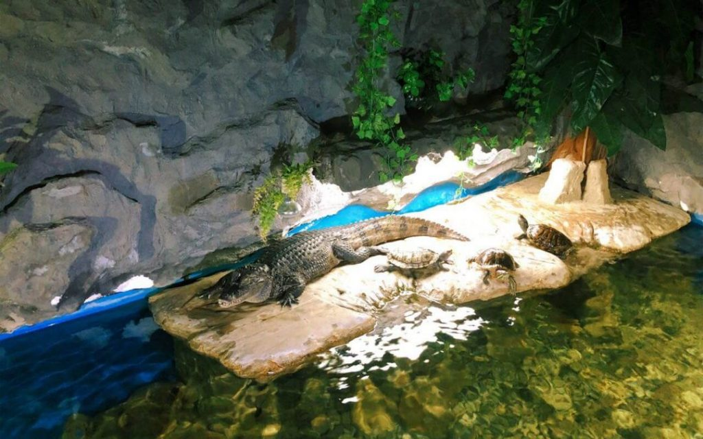 The crocodile in Aquarium-Terrarium in Sibenik